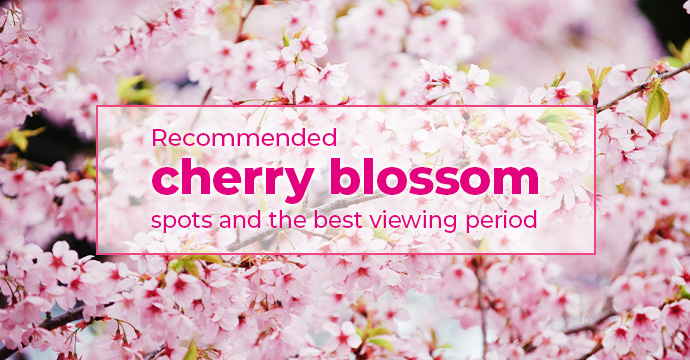 Recommended cherry blossom spots and the best viewing period