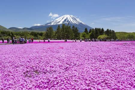 후지 꽃잔디 축제
