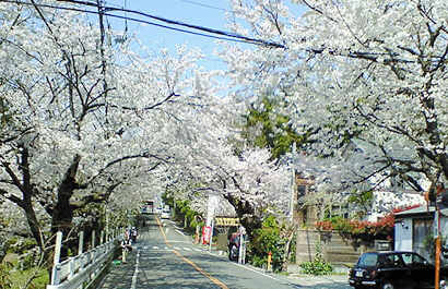 Rows of Cherry Blossom Trees in Kamakurayama