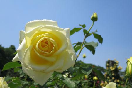 生田绿地玫瑰苑 一般开放