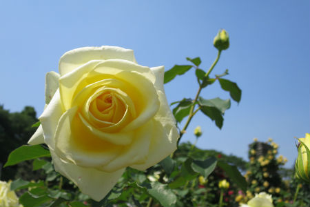 The Rose Garden at Ikuta Ryokuchi Park – Public Opening