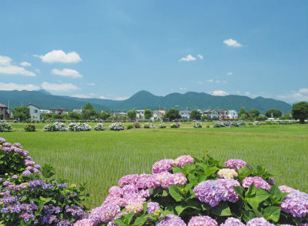 Kaisei Ajisai Matsuri (festival)