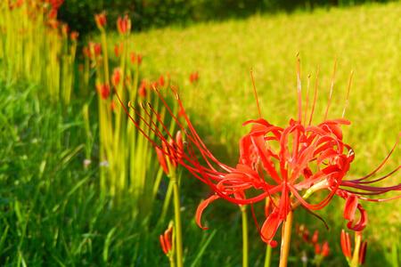 Quand les Amaryllis du Japon fleurissent