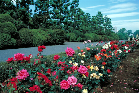 Guided Walk at Shinjuku Gyoen National Garden with Rose Gardeners