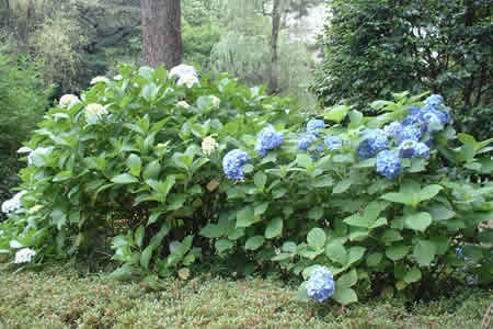 Hydrangea Appreciation